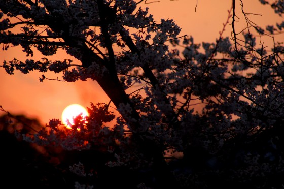 El sol poniéndose tras un cerezo en Kioto