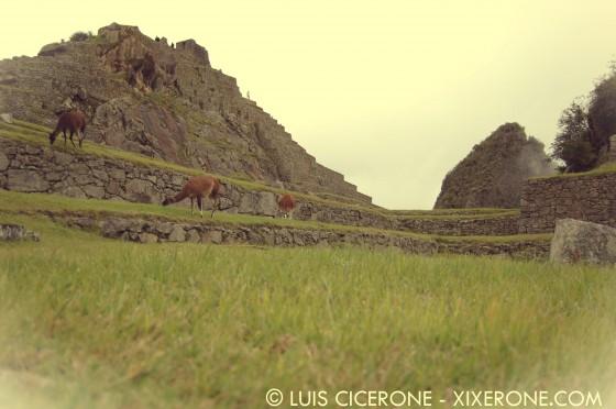 Llamas pastando en Machu Picchu