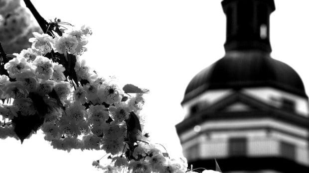 Flores de cerezo y catedral de Leipzig