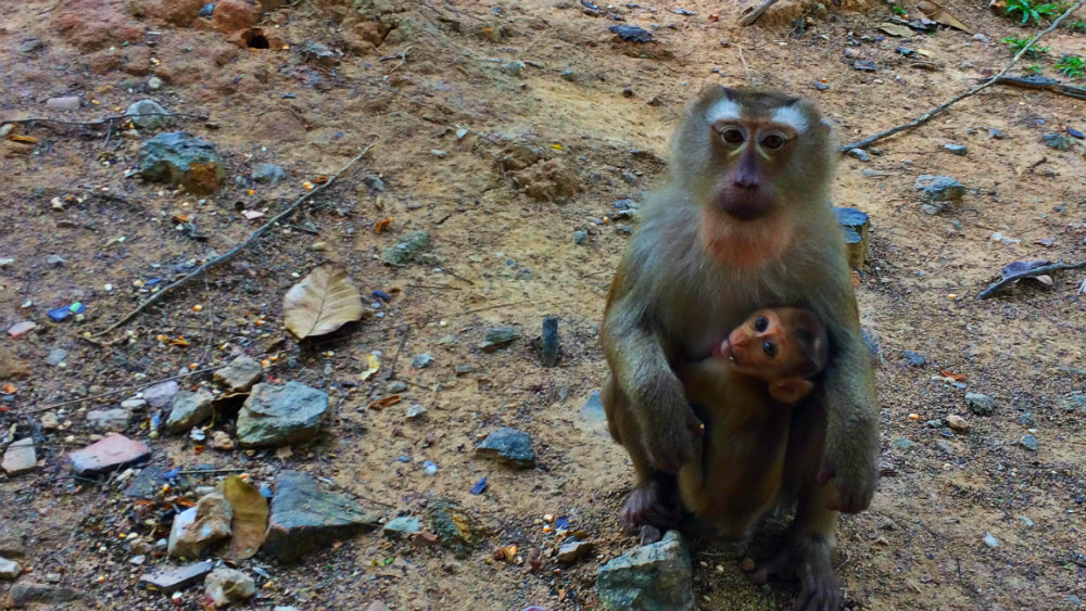 Macacos en Monkey Hill