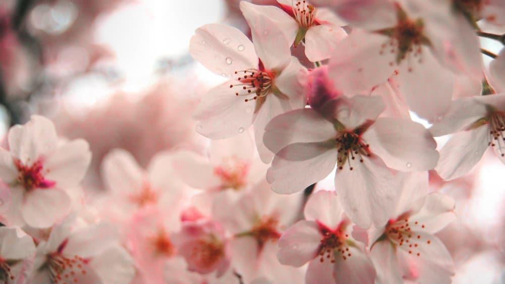 Cerezos en flor en el parque Maruyama