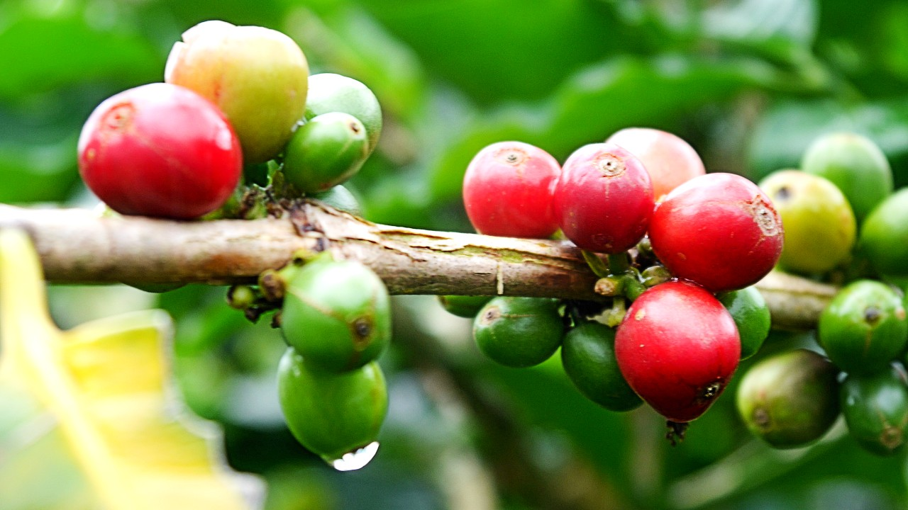 Tour de café en el eje cafetero colombiano